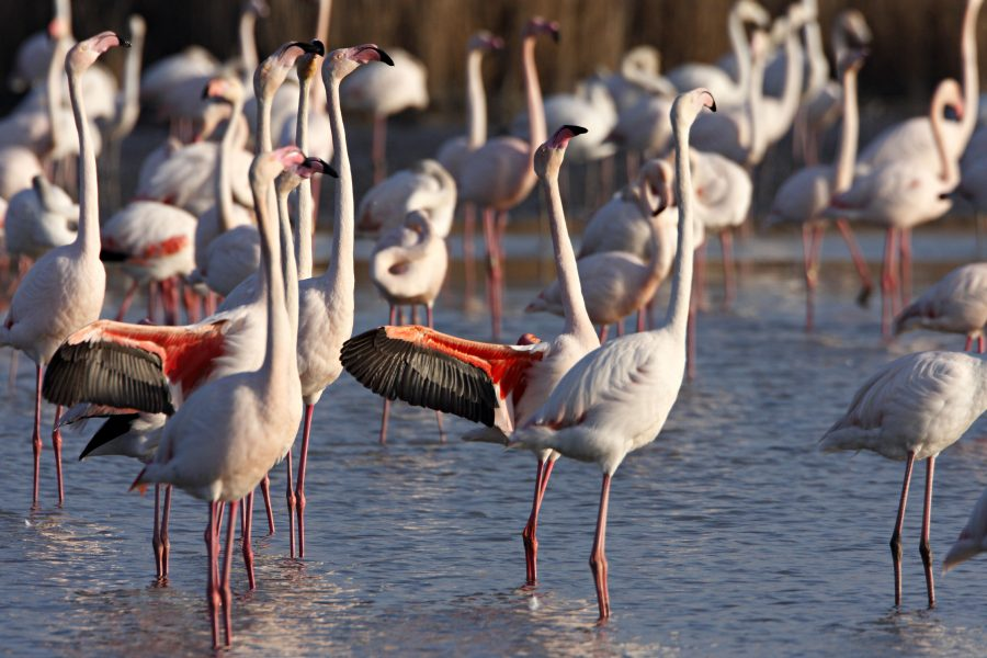 Flamingos of Camargue